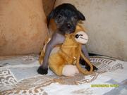 собачка китайская хохлатая щенки