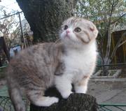 Шотландских вислоухих и британских плюшевых котят самых разных окрасов
