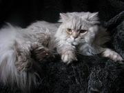 Британский длинношерстный кот Вязка