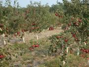 КФХ Ирия-сад продает яблоневый сад