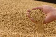 Продажа фуражной пшеницы