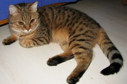 кошки редких пород калифорнийская сияющая и цейлонская
