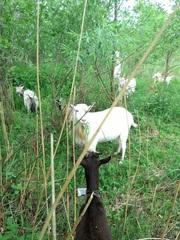 Продаются породистые козлы,  козлики и козы
