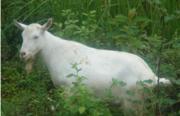 Продам козла породистого с доставкой