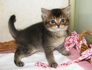 Британские котята уникальных окрасов Питомник британских кошек #sunnybunny.by  #sb