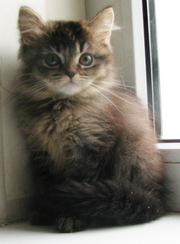 Британские длинношерстные котята (хайленд)- акция